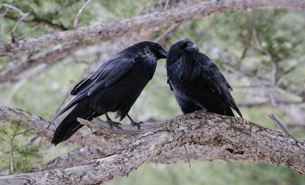 Two common ravens sit on a branch, preening, with green leaves in the background