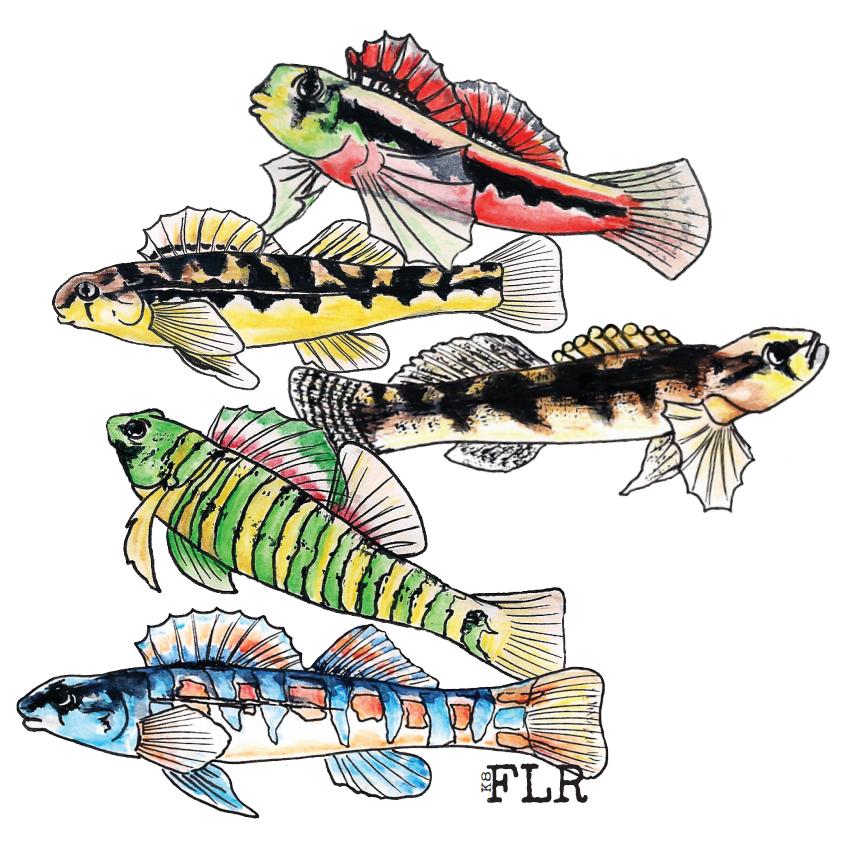 watercolor drawings of five colorful darter fish